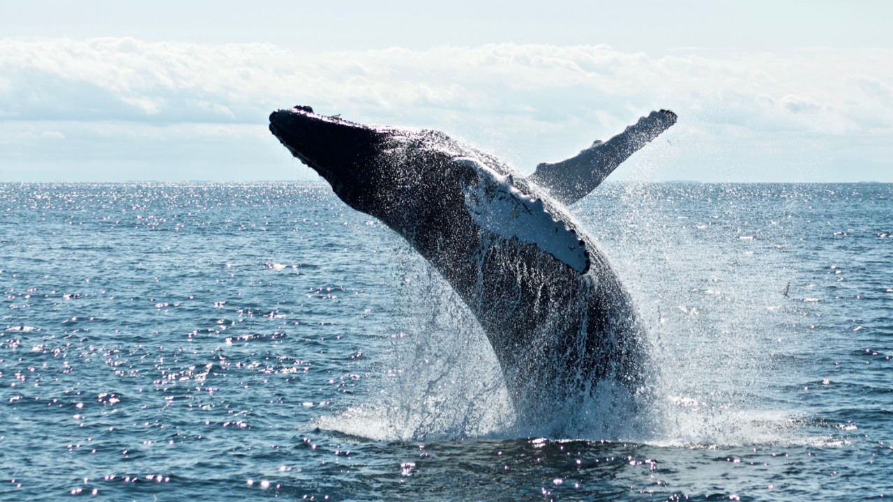 Grey whale leaping out water