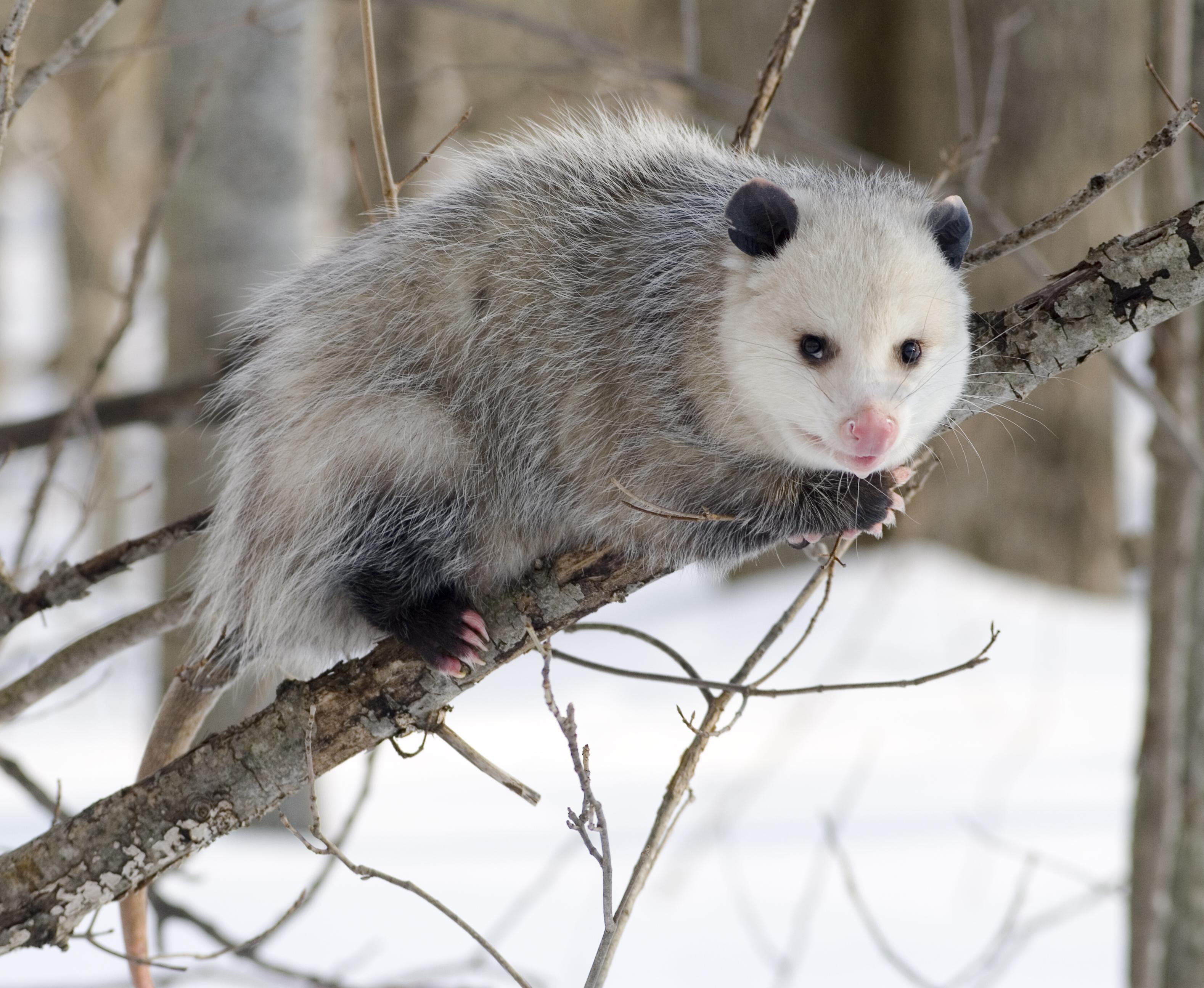 opossum_2