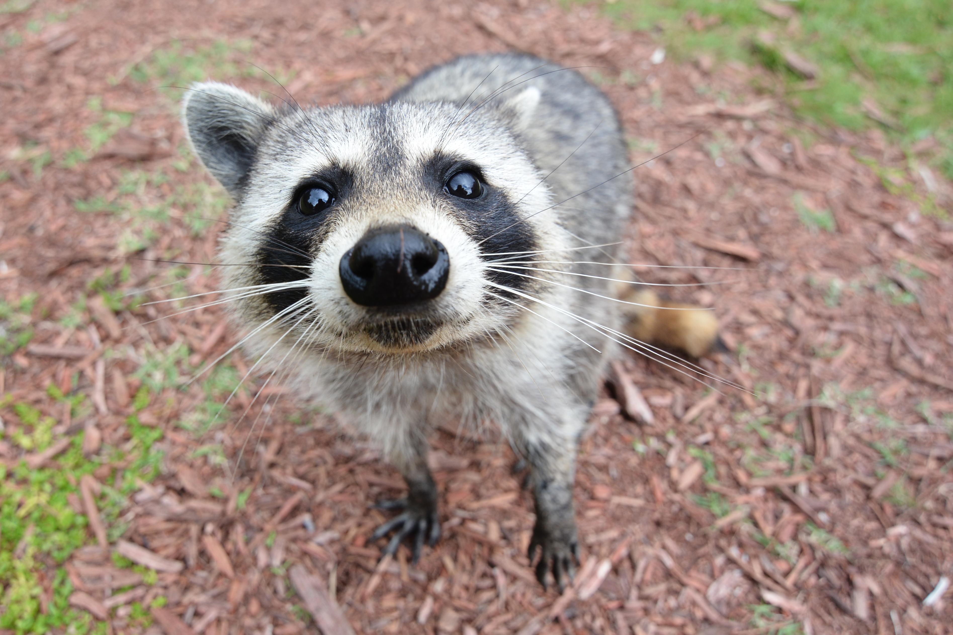 curious_raccoon