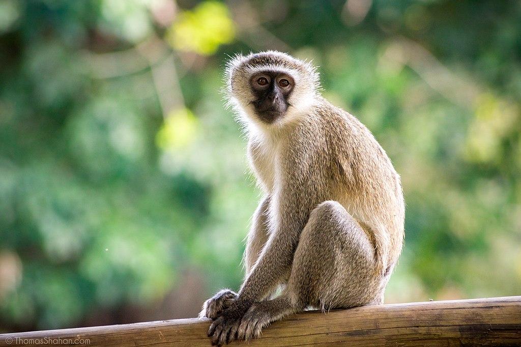 1024px-Vervet_Monkey_(Chlorocebus_pygerythrus)