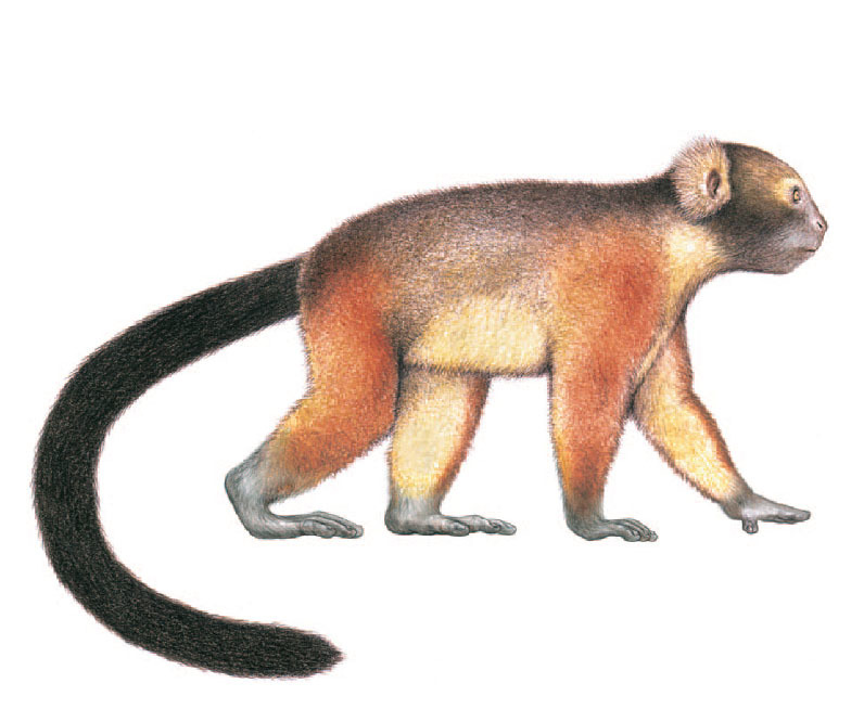 jamaican-monkey