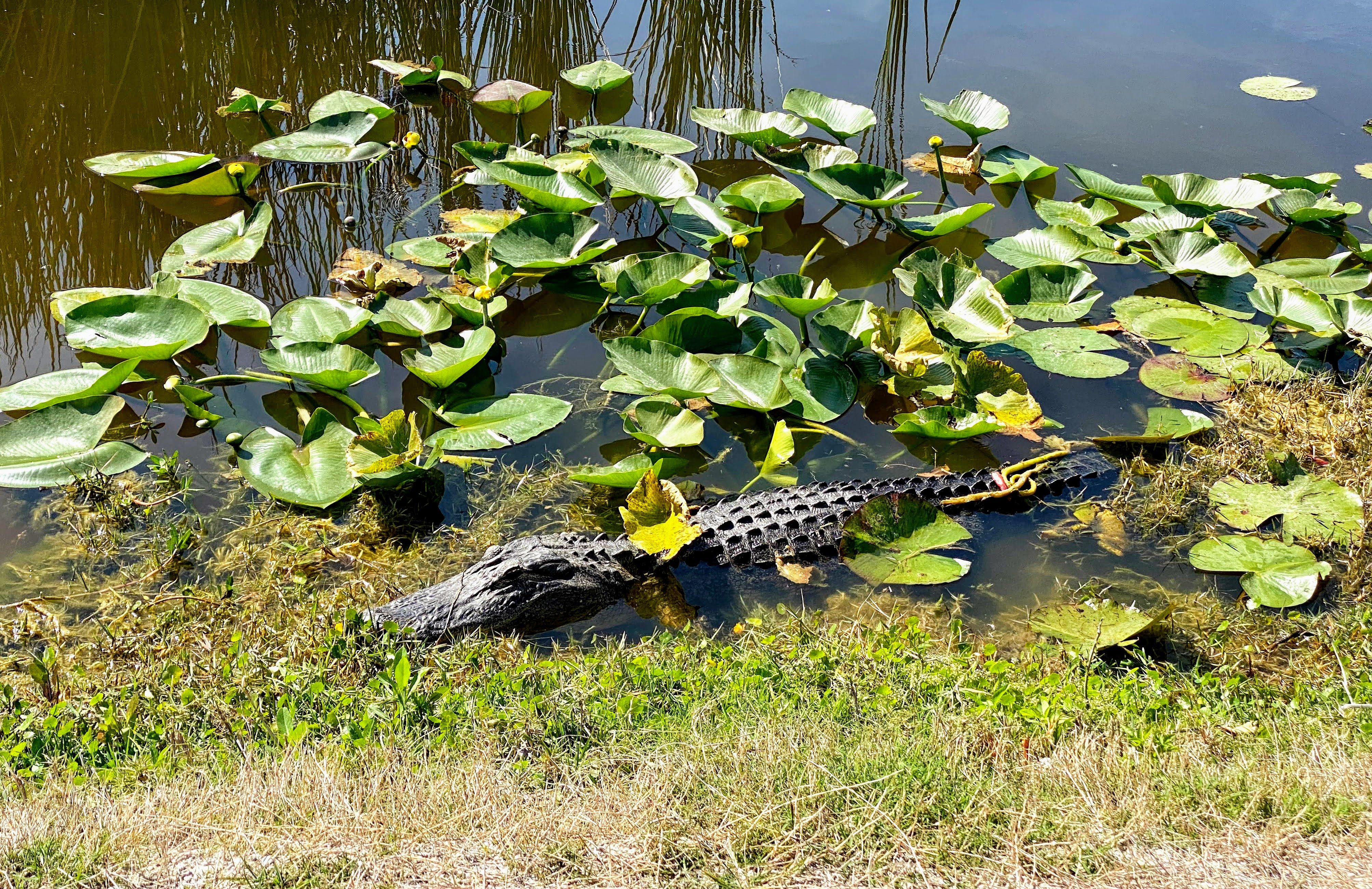 gator in the lilypads
