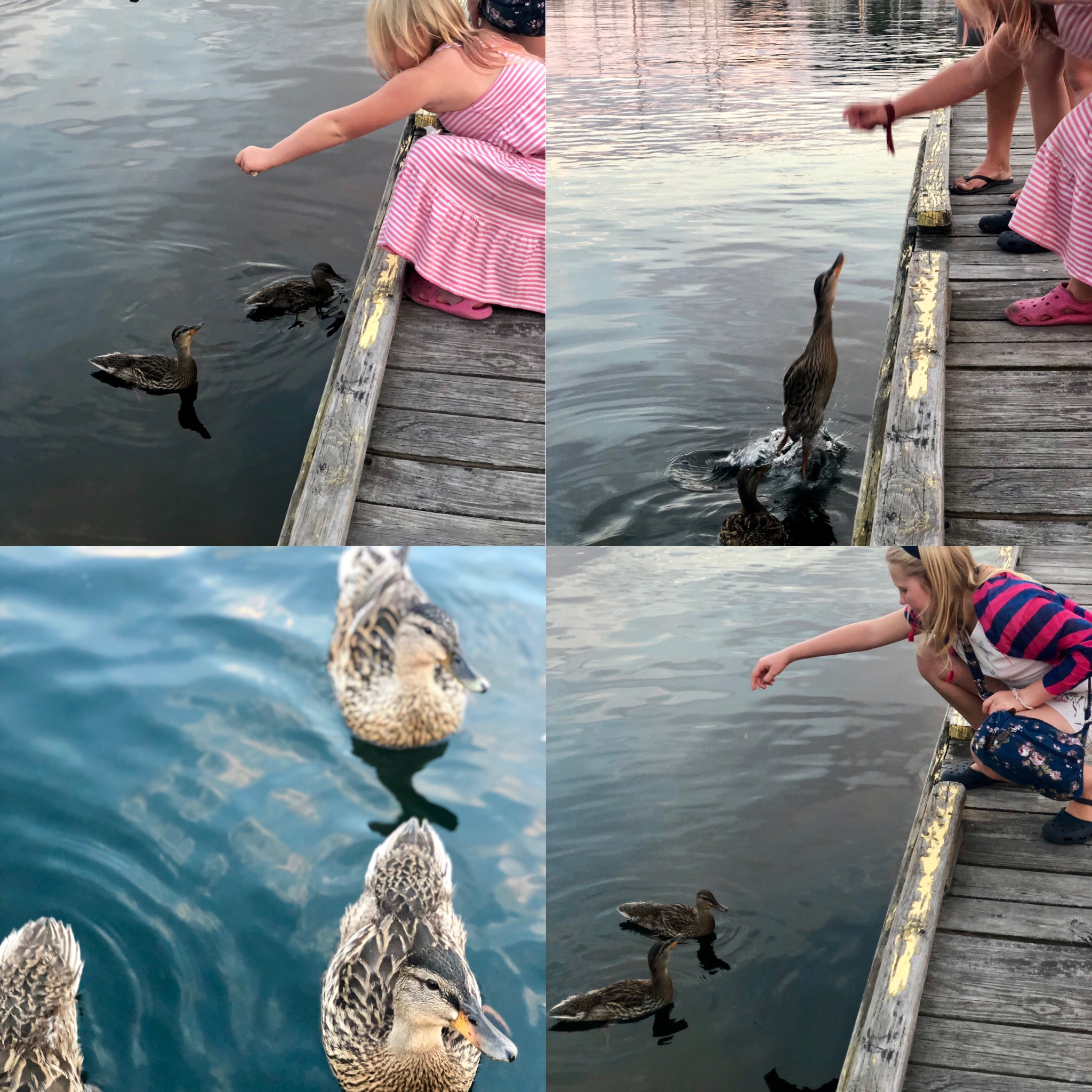 duck training collage