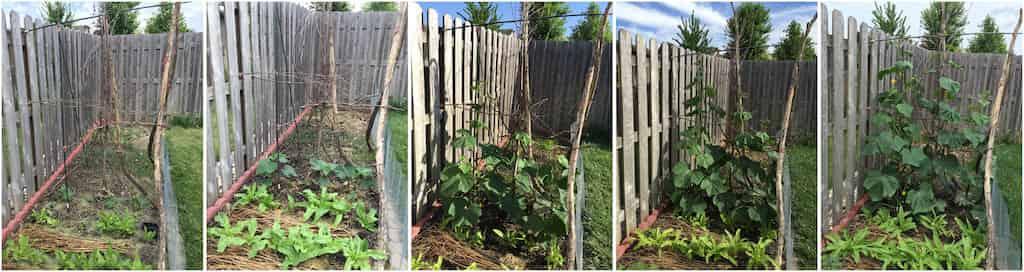 黄瓜的生长
