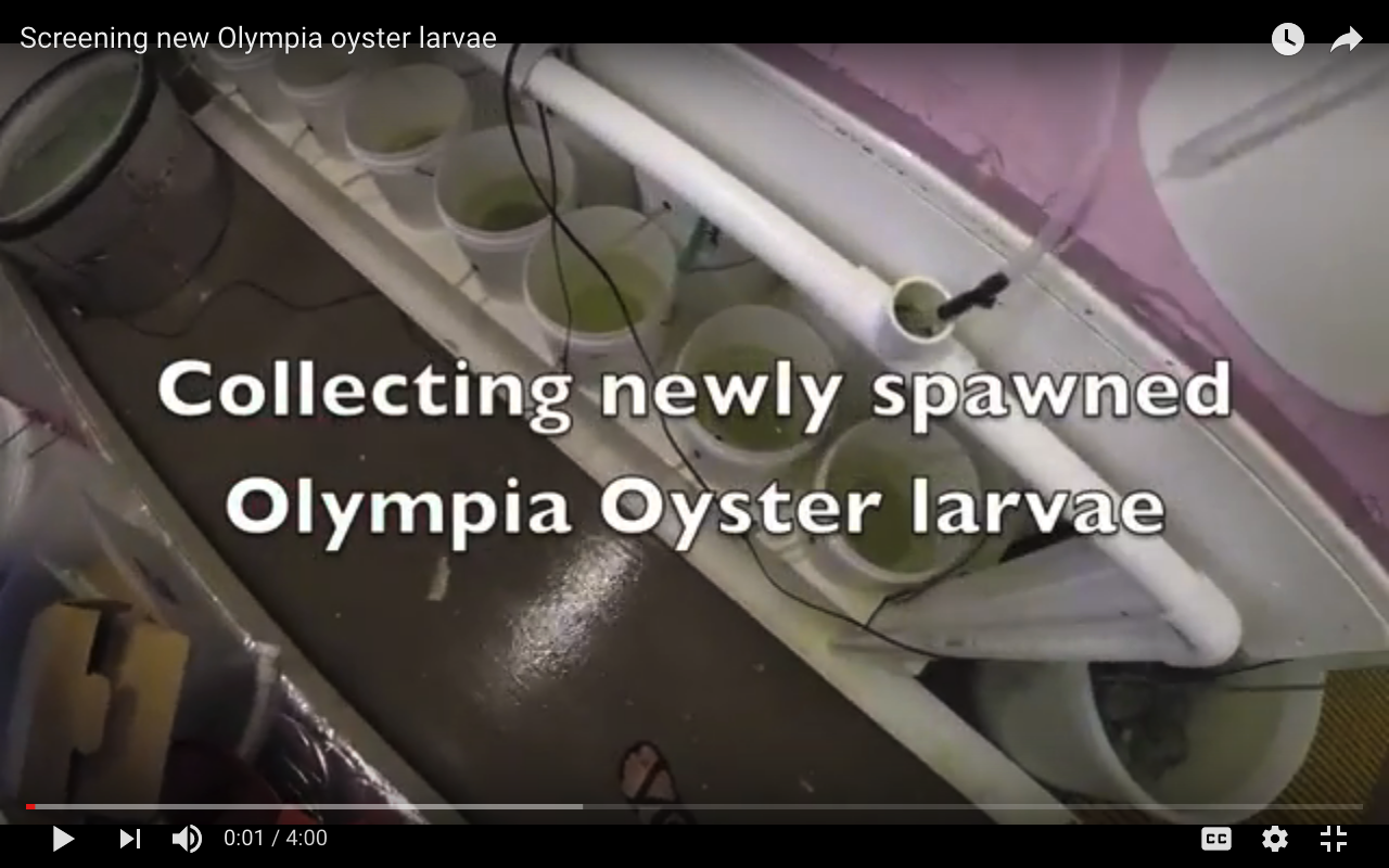 video: collecting new oly larvae