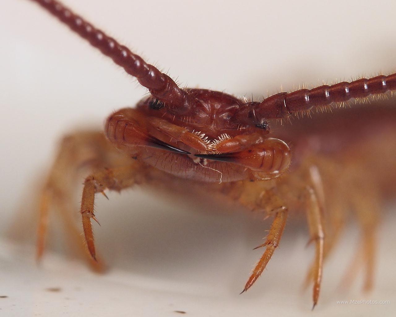 centipede-020
