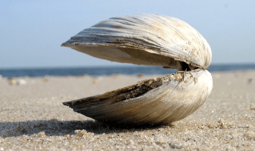 Clam on the beach