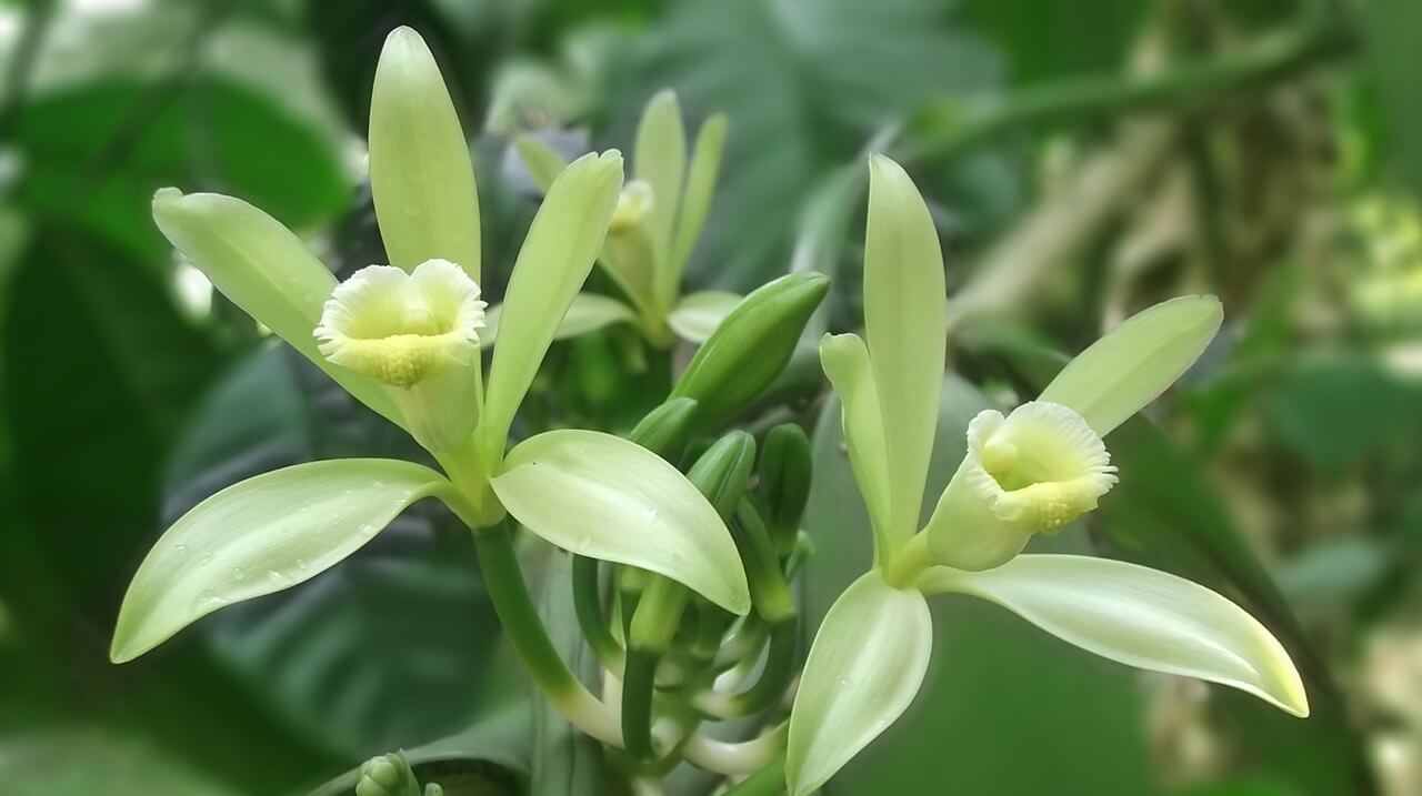 Image of a vanilla flower