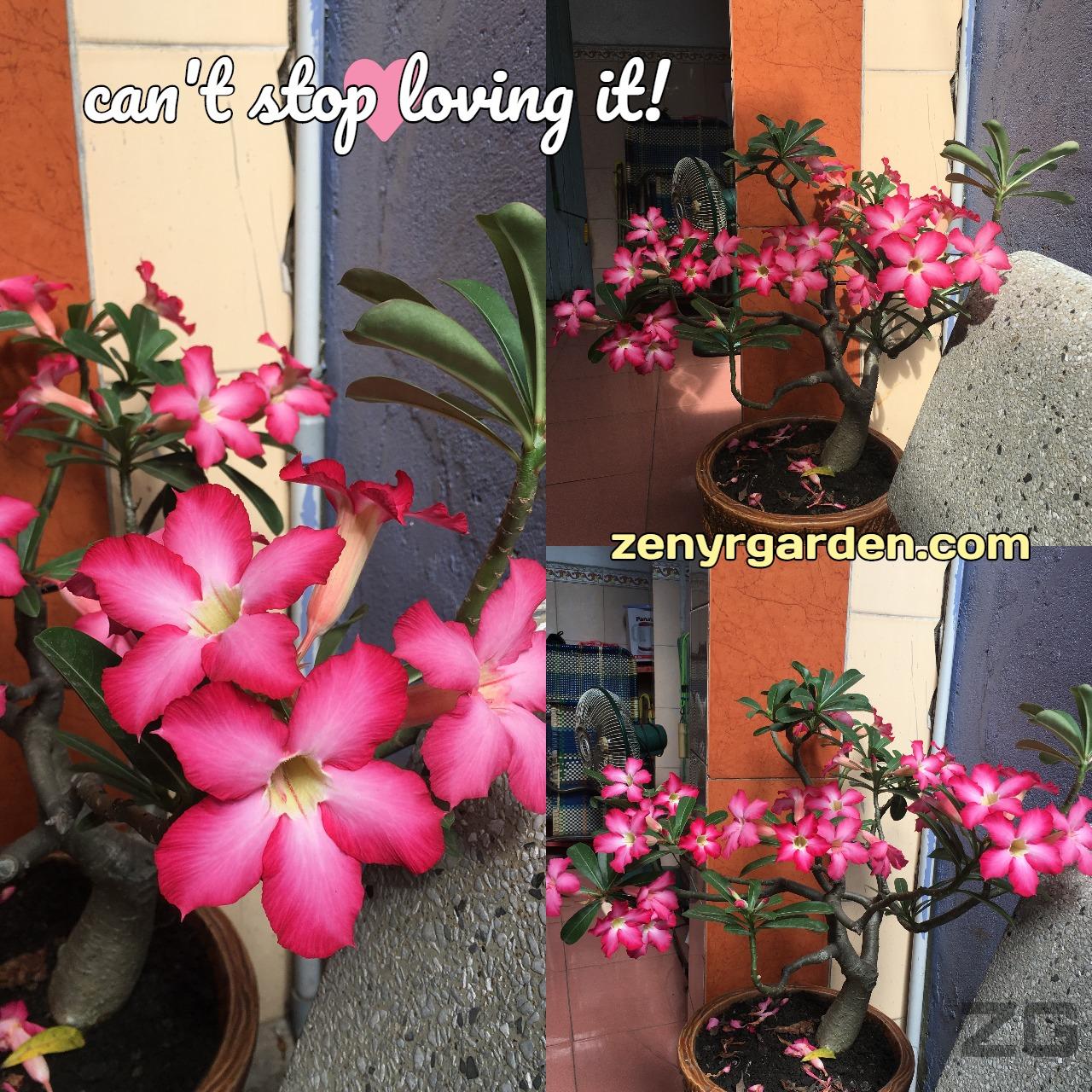 adenium-obesum-desert-rose-flower-zenyrgarden