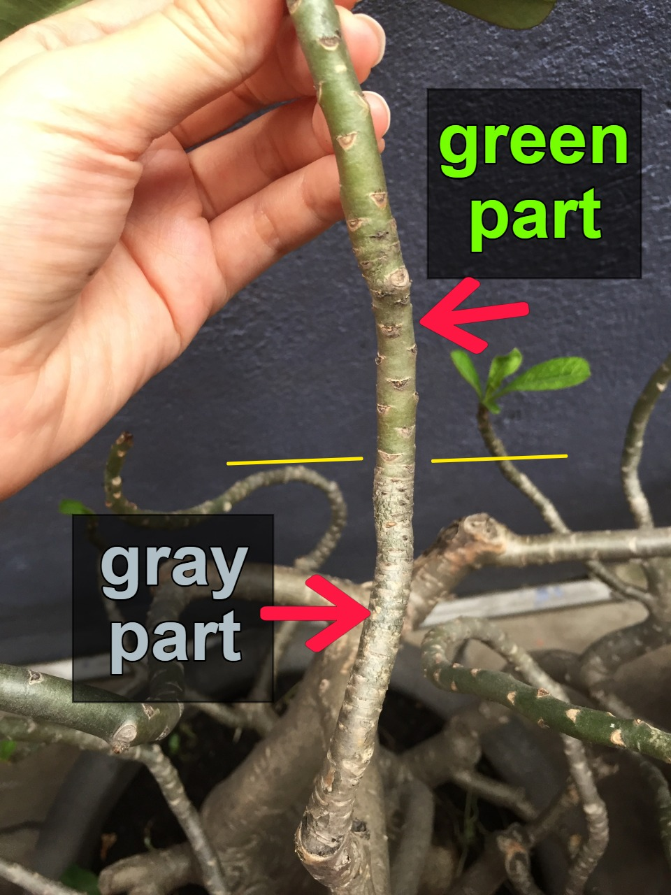Green gray parts of a branch