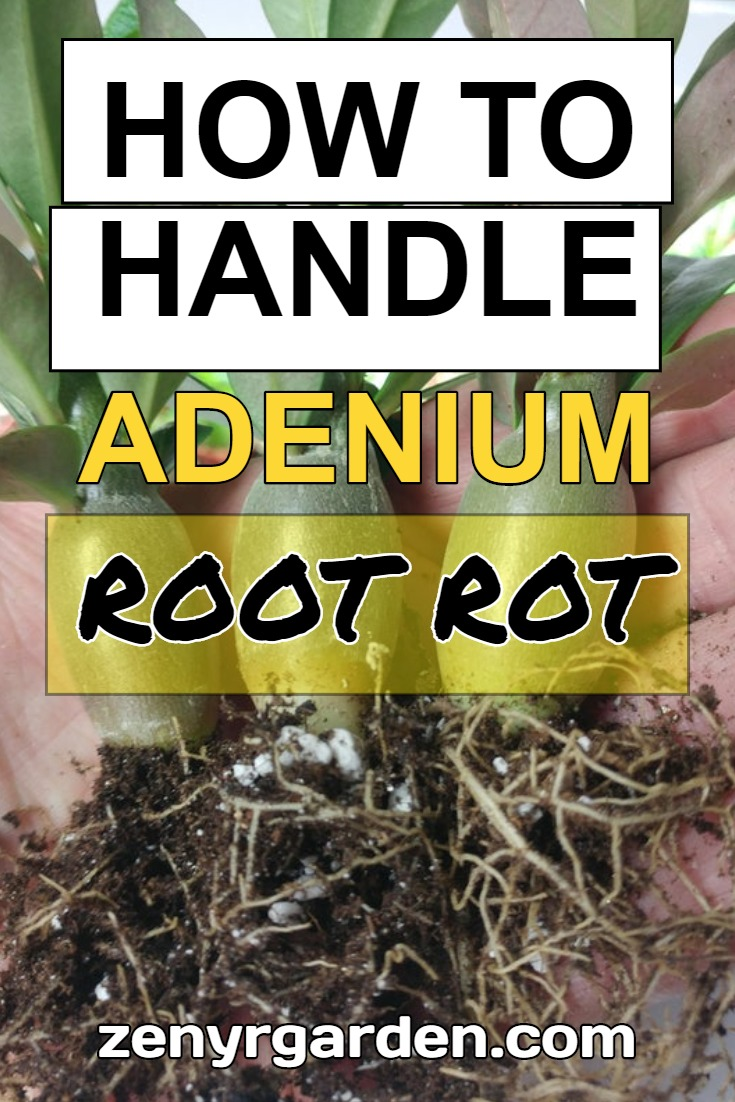 how-to-handle-adenium-root-rot