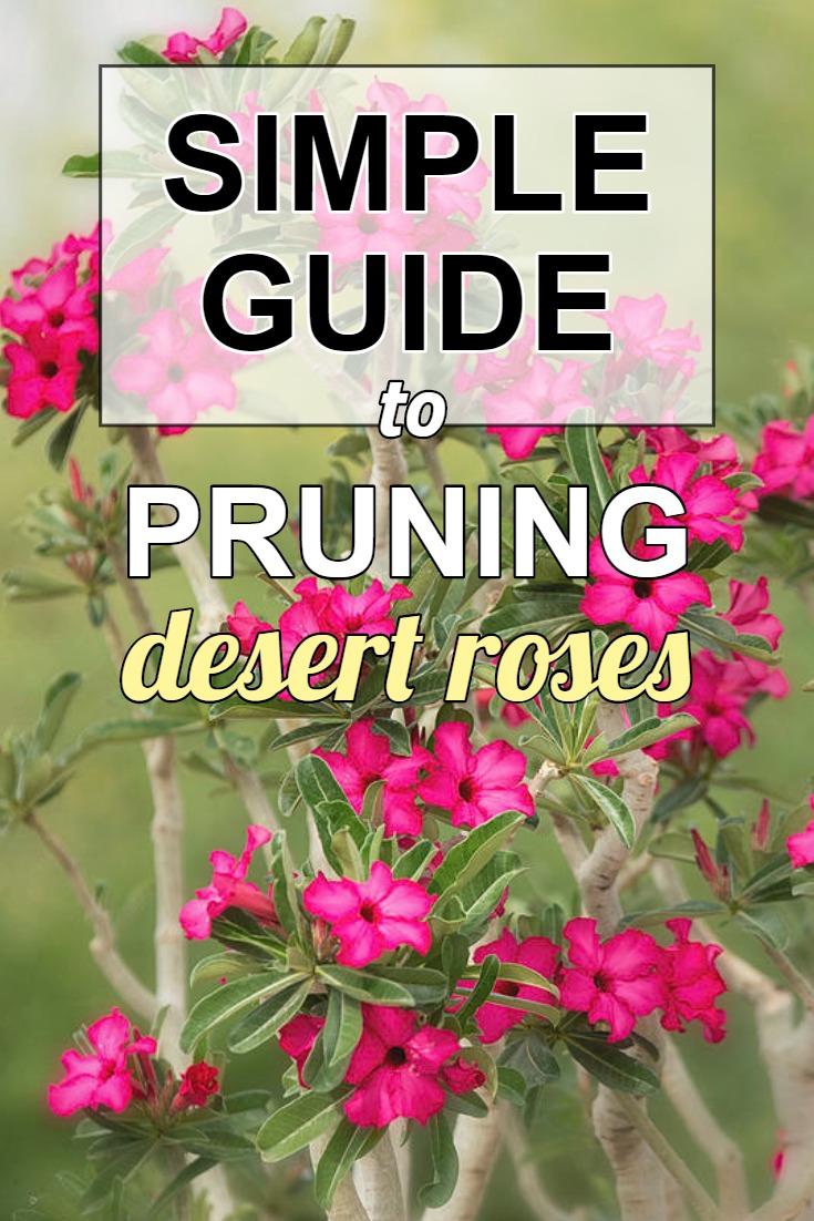 how-to-prune-trim-adenium-desert-roses