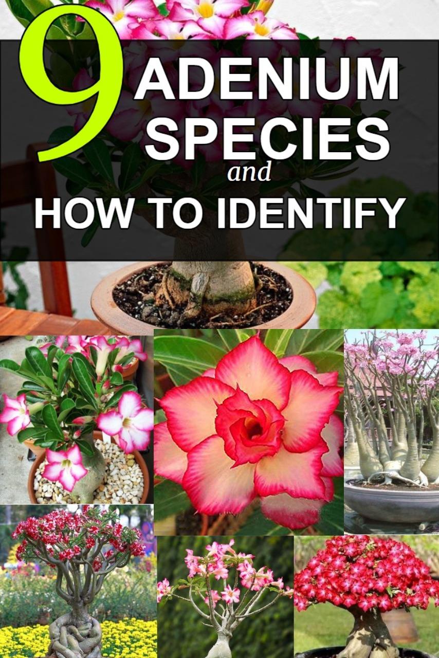 adenium-desert-rose-species