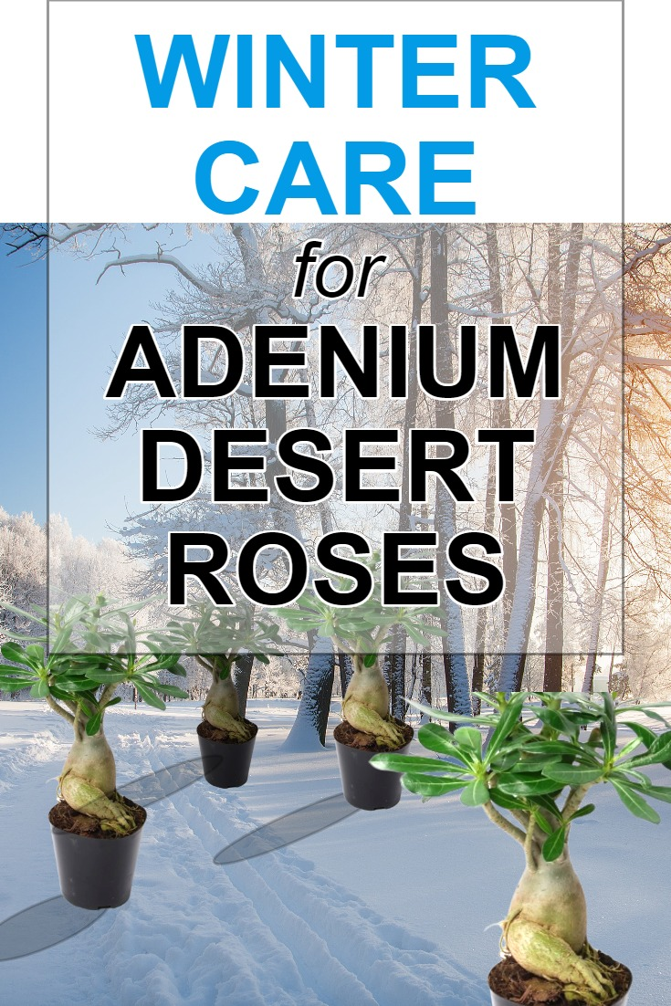 winter-care-for-adenium-desert-roses