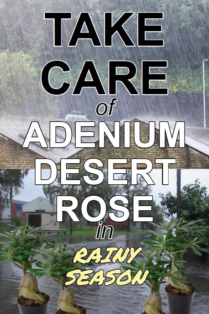 take-care-of-adenium-desert-rose-rainy-season