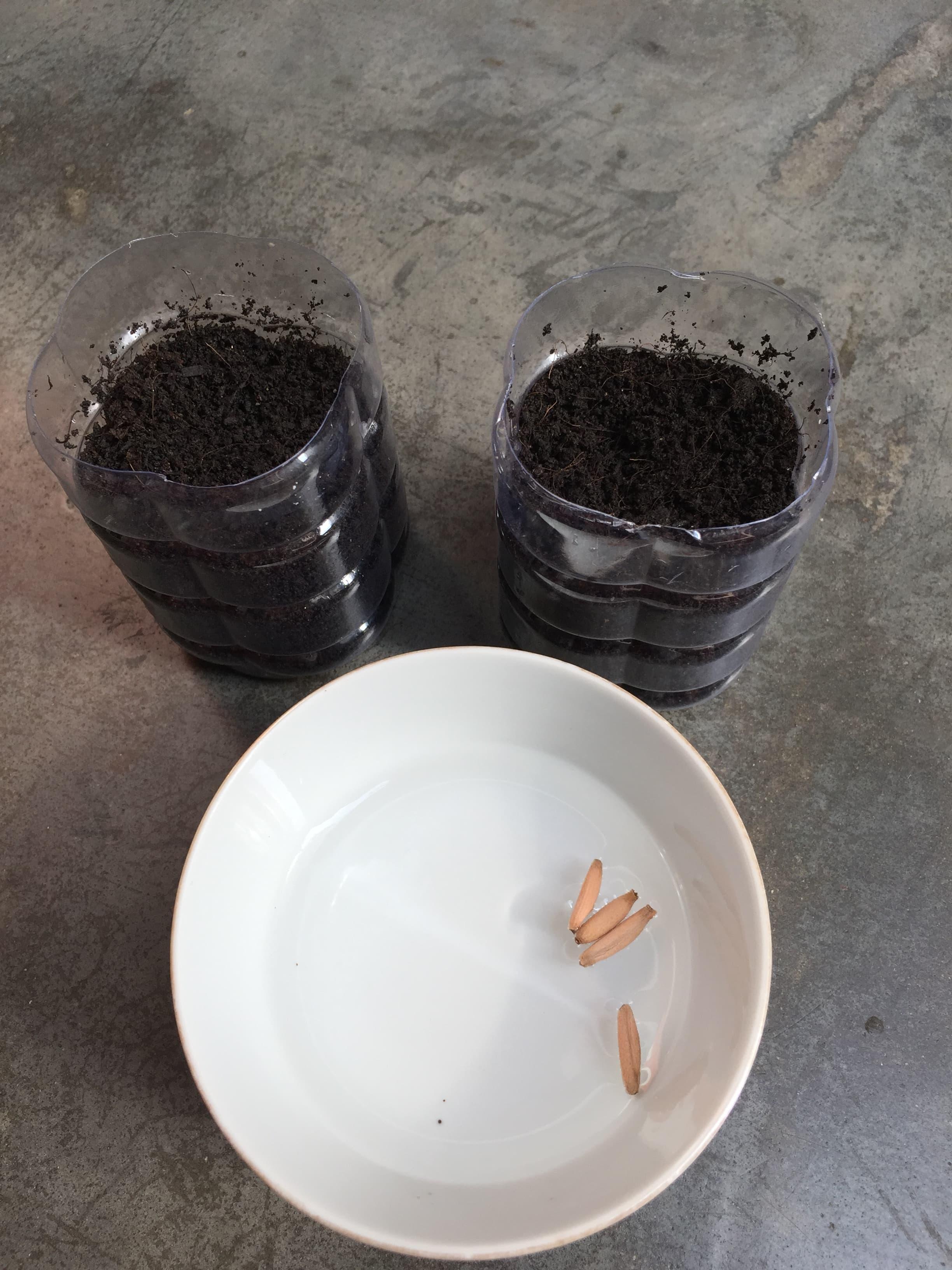 Soak adenium seeds in water