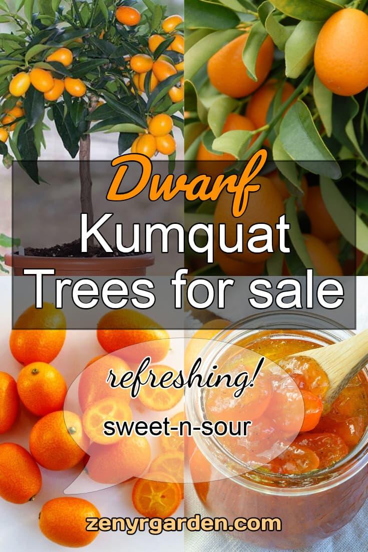 dwarf-kumquat-tree-for-sale