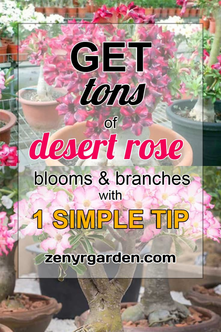 how-to-get-more-desert-rose-blooms-branches