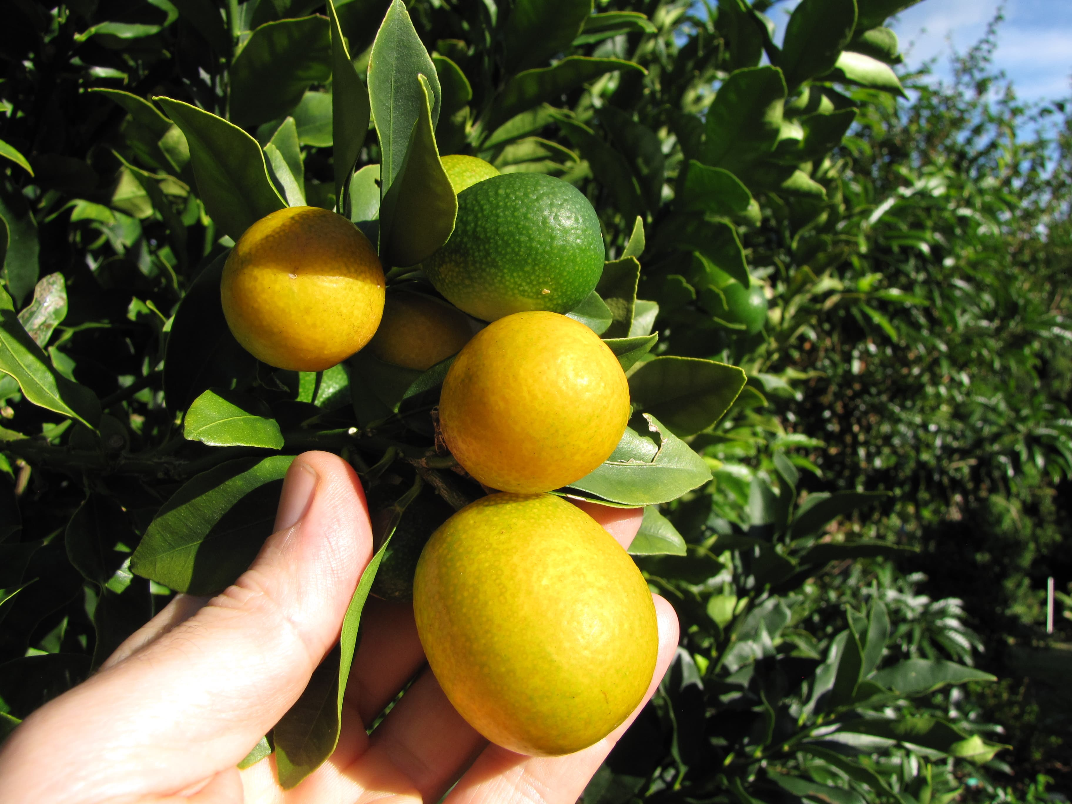 meiwa-kumquat