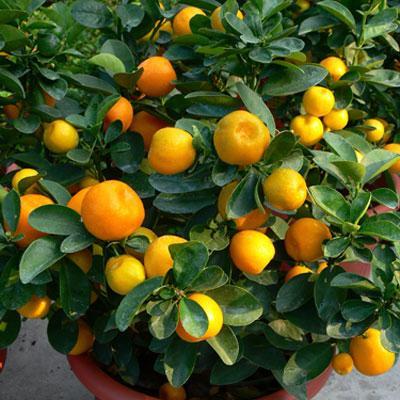 fukushu-kumquat