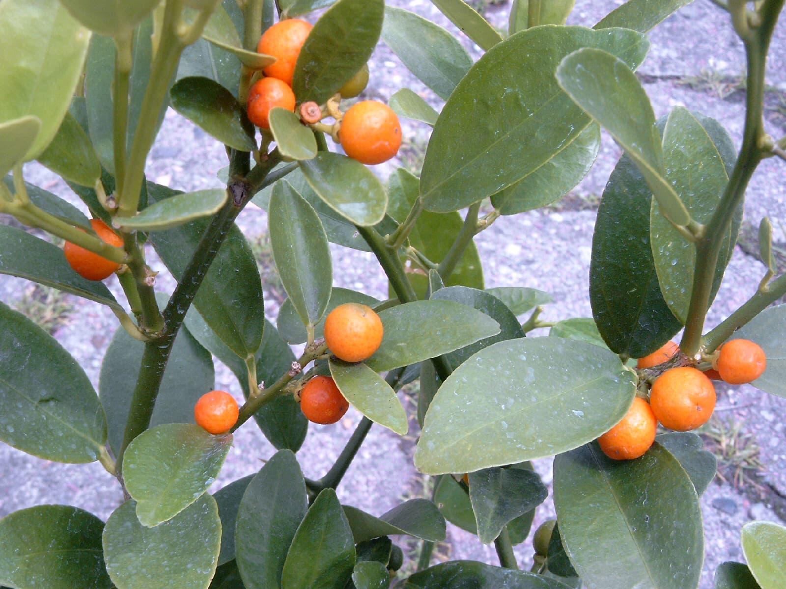 golden-bean-kumquat