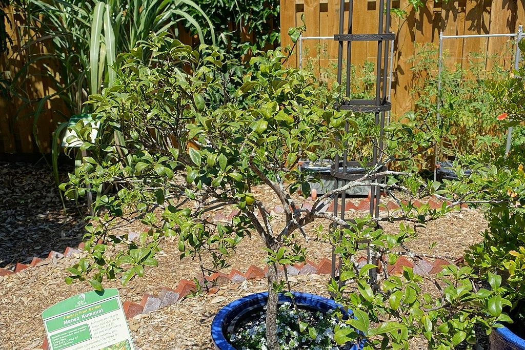 kumquat-trees-in-pots