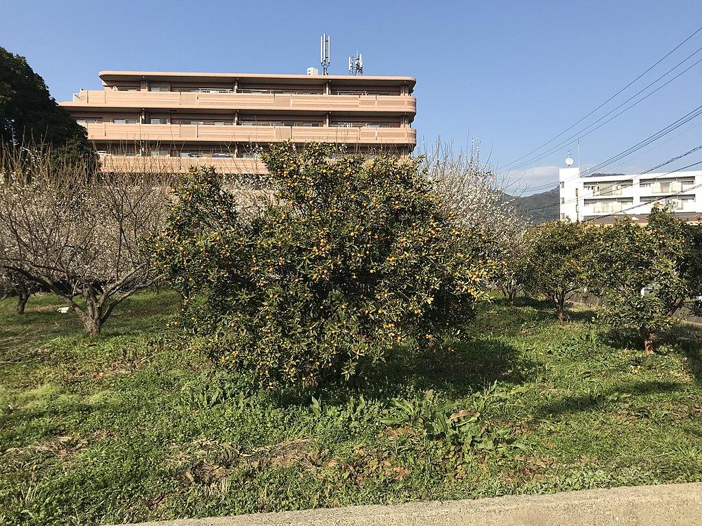 kumquat-tree-in-ground