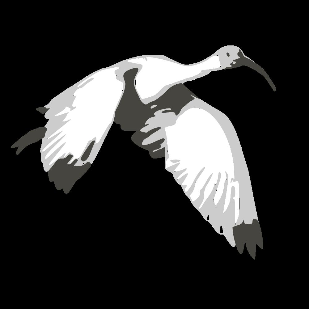 flying-ibis
