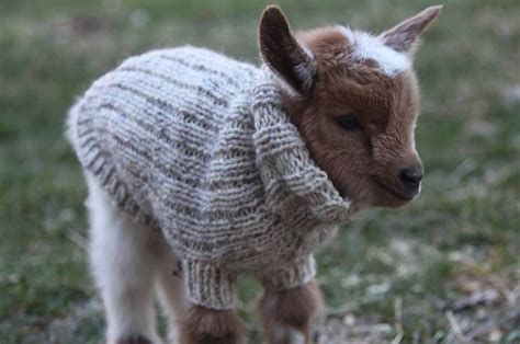sweater-baby-goat