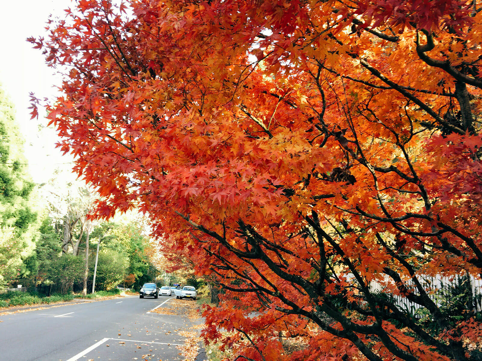 autumn leaves red 02