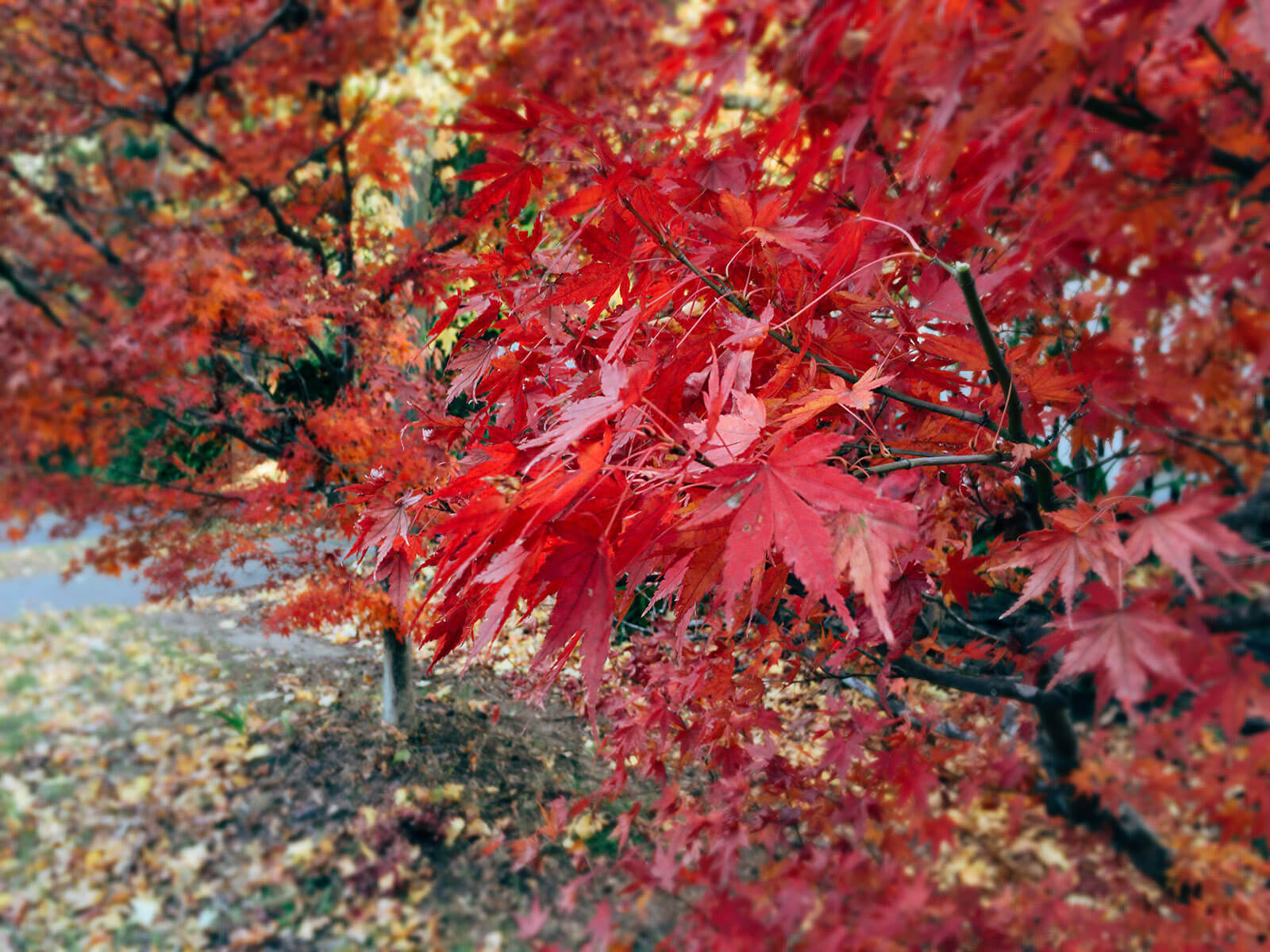 autumn leaves red 03