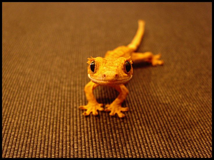 1ed7d1d0ca017eda489506a3cf57511c--lizards-reptiles