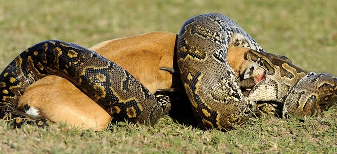 python-and-prey