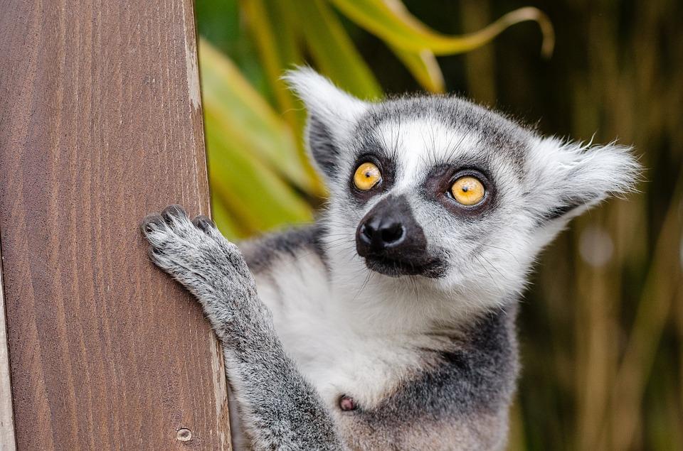 lemur-1045220_960_720
